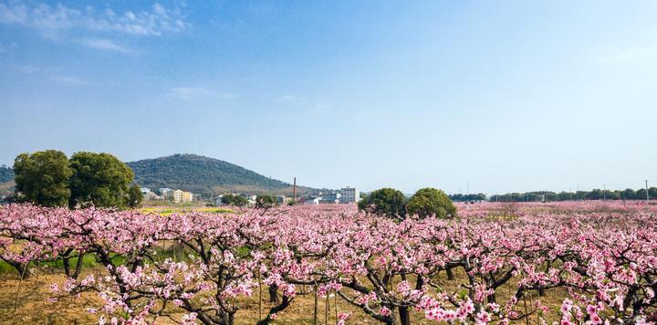 江苏无锡阳山水蜜桃栽培系统,入选第四批中国重要农业文化遗产名单