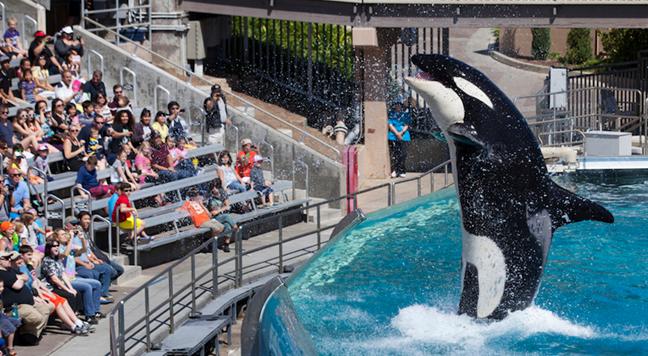 海洋世界CEO:将逐步淘汰虎鲸表演,停止圈养海洋动物