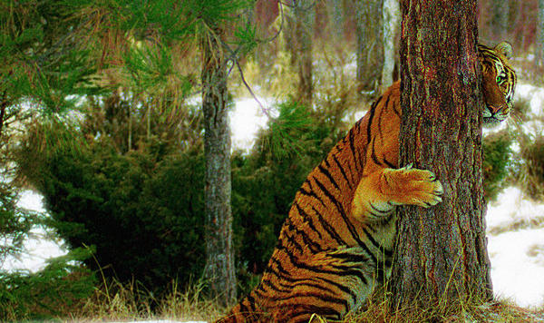 """下车就被虎吃!野生动物园如何成为""""疯狂动物城""""?"""